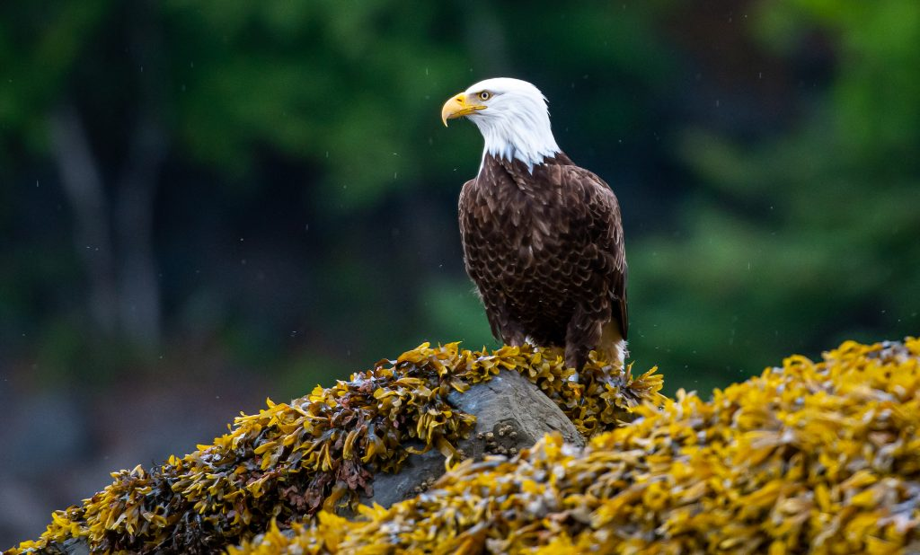 Bald eagle resting on a rock covered in kelp