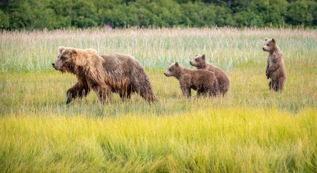 Sow brown bear walks across grassy field trailed by three young cubs
