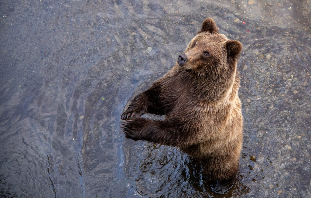 Brown bear stands in water on hind legs and looks up with paws touching in front of him. Pictured from above.