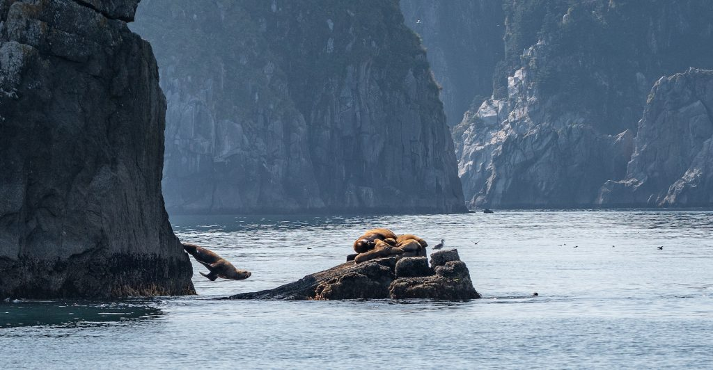 Steller sea lion leaping off rock, other sea lions rest on a small rock nearby, vertical rock cliffs surround ocean