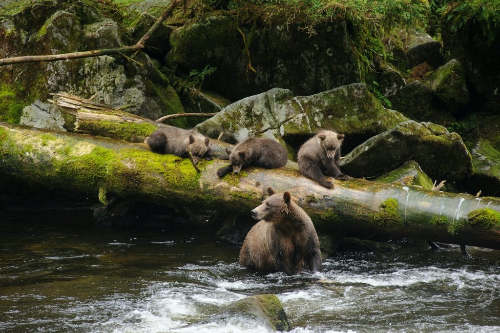 Brown bear sow in river. Three cubs lie on a fallen tree trunk behind her.