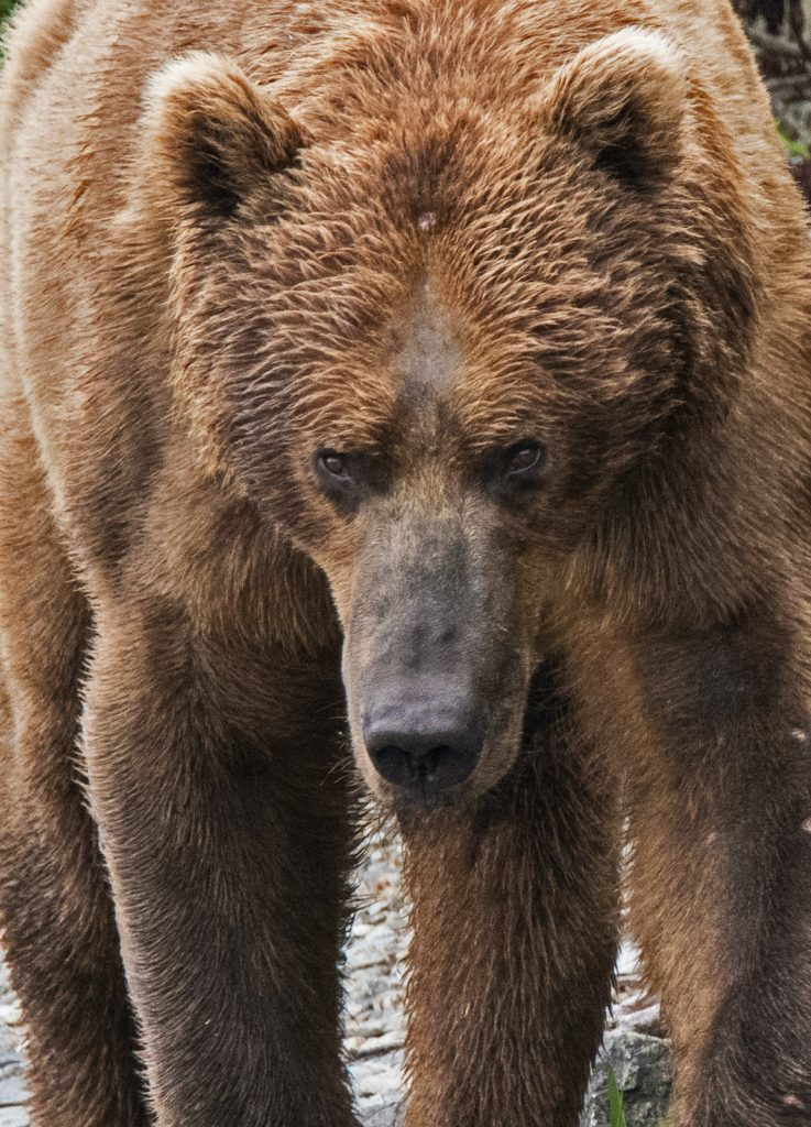 Close on a lumbering grizzly