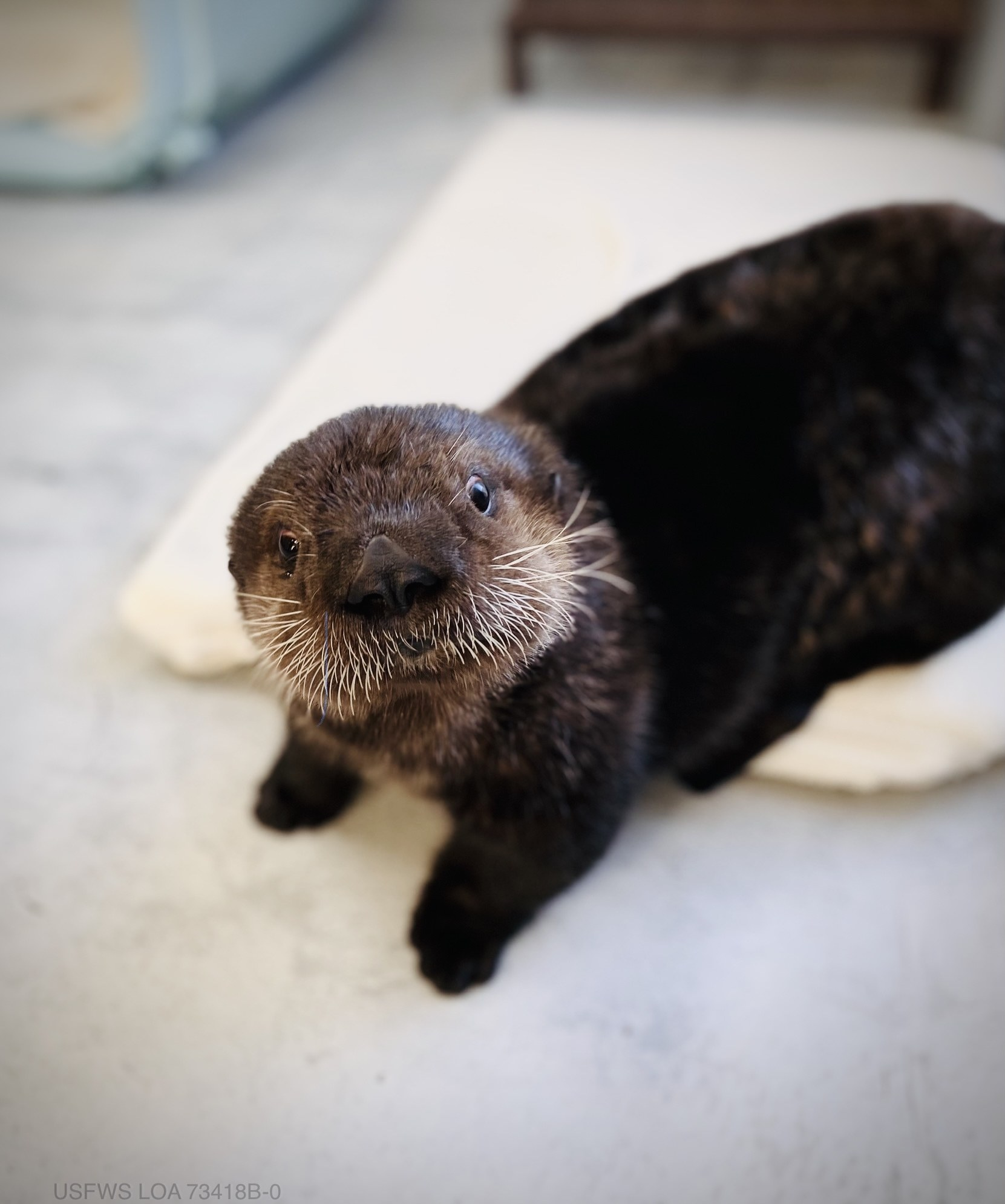 Sea otter sitting on a towel and looking into the camera