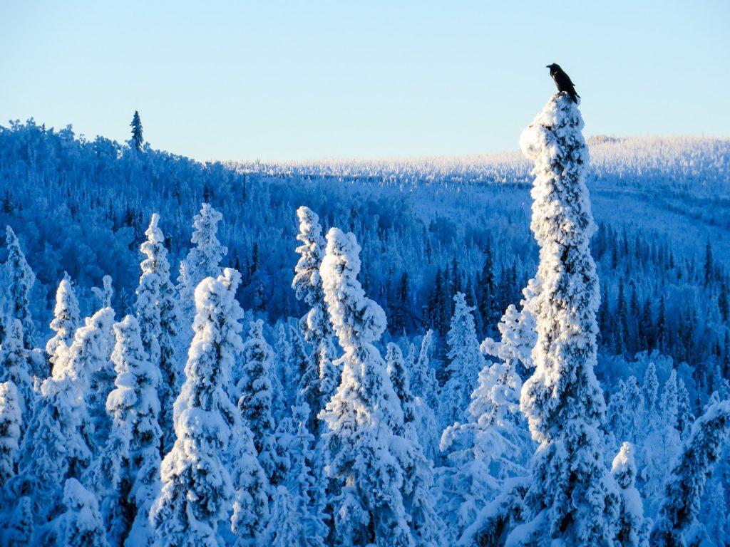 Raven on top of a spruce tree in snowy landscape