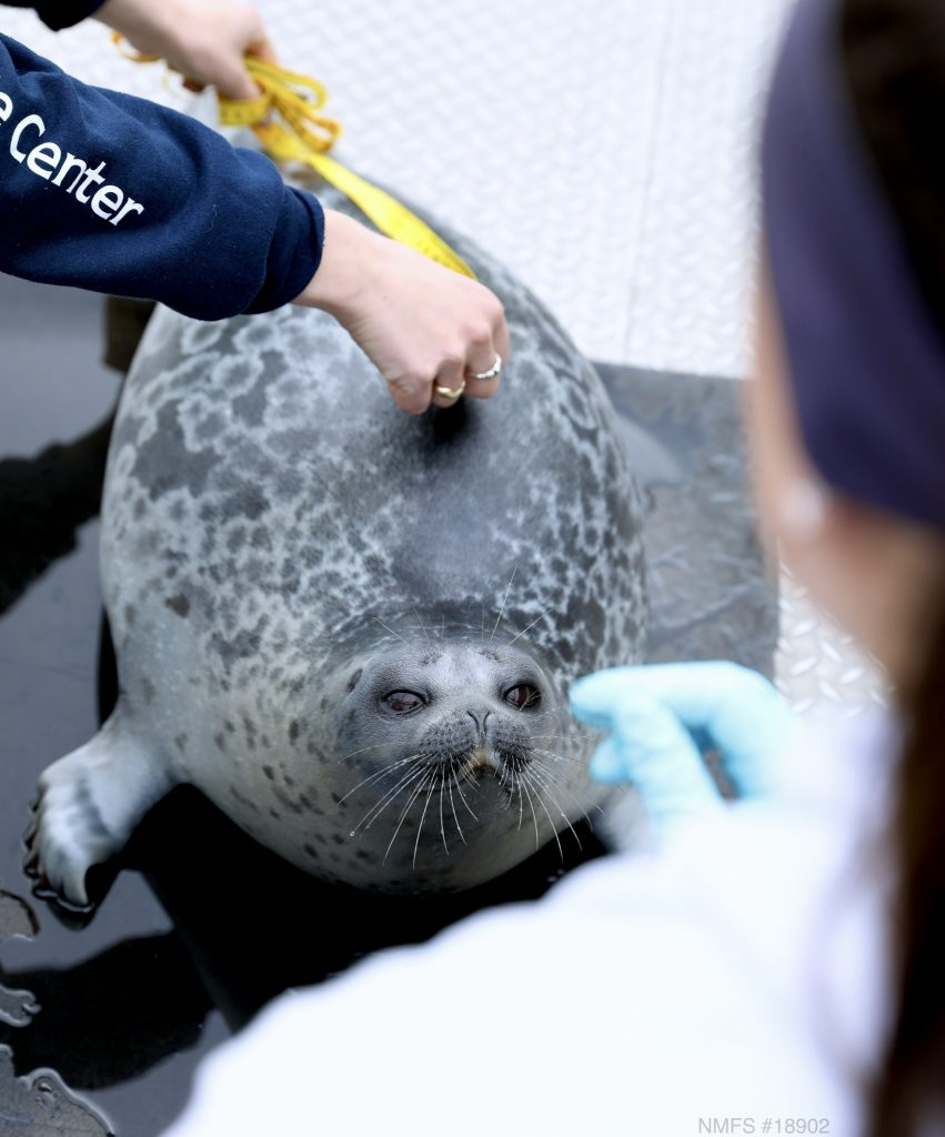 A singed seal being measured and a biologist in the foreground