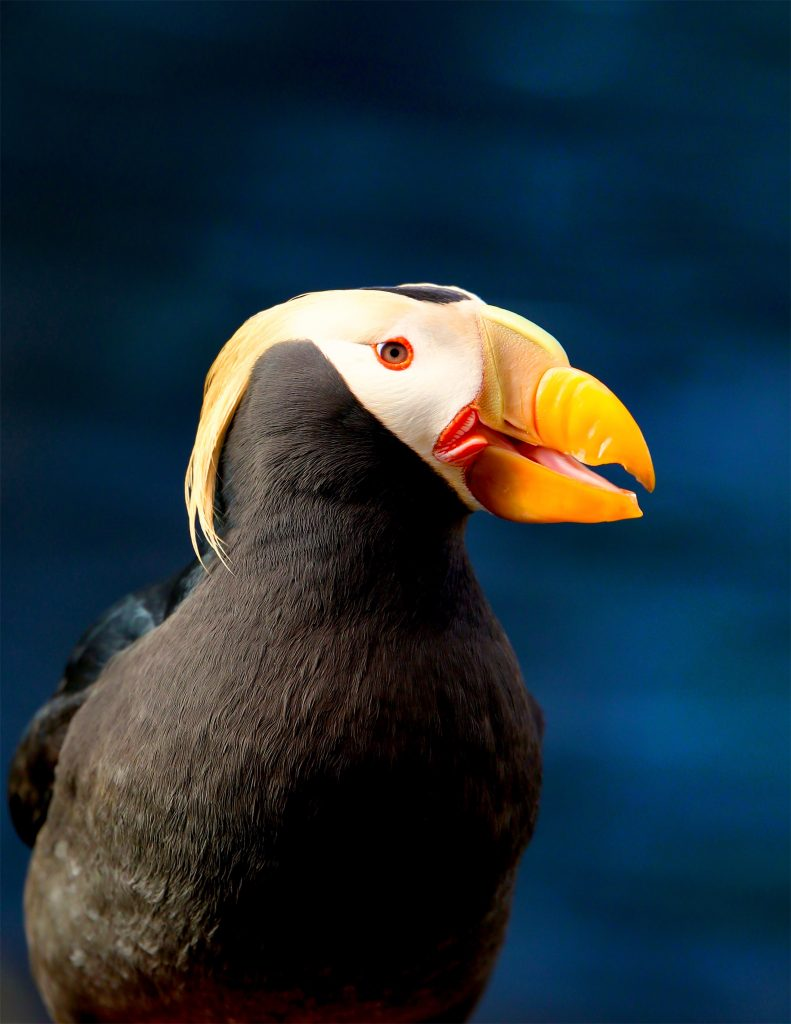 Close on a tufted puffin at the Alaska SeaLife Center