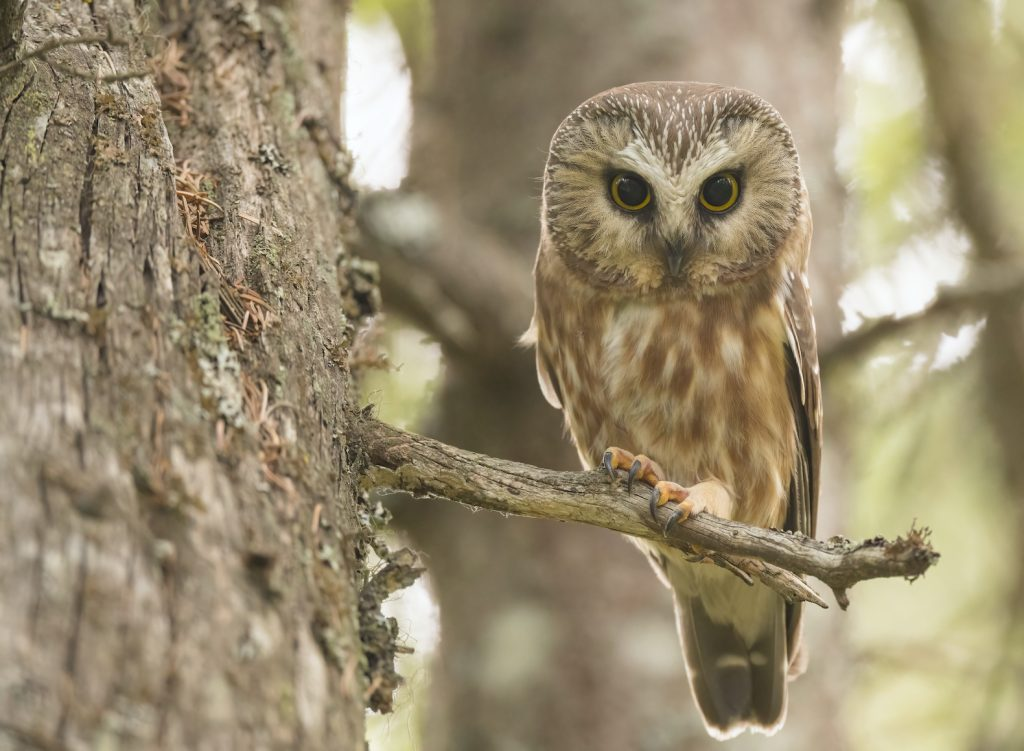 An adult saw-whet owl sitting on a tree branch