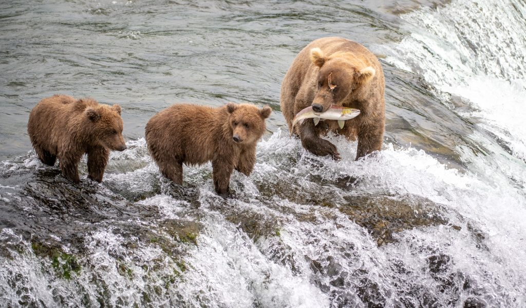 Mother bear with fish in her mouth and cubs nearby atop falls