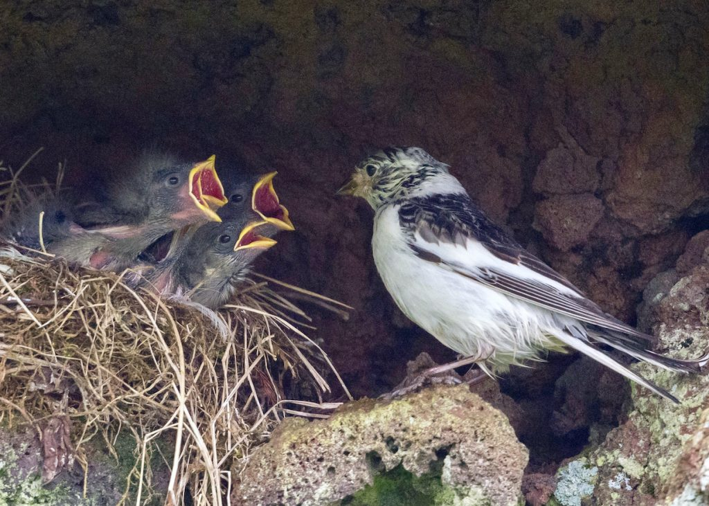 Snow bunting at nest with hungry chicks begging for food