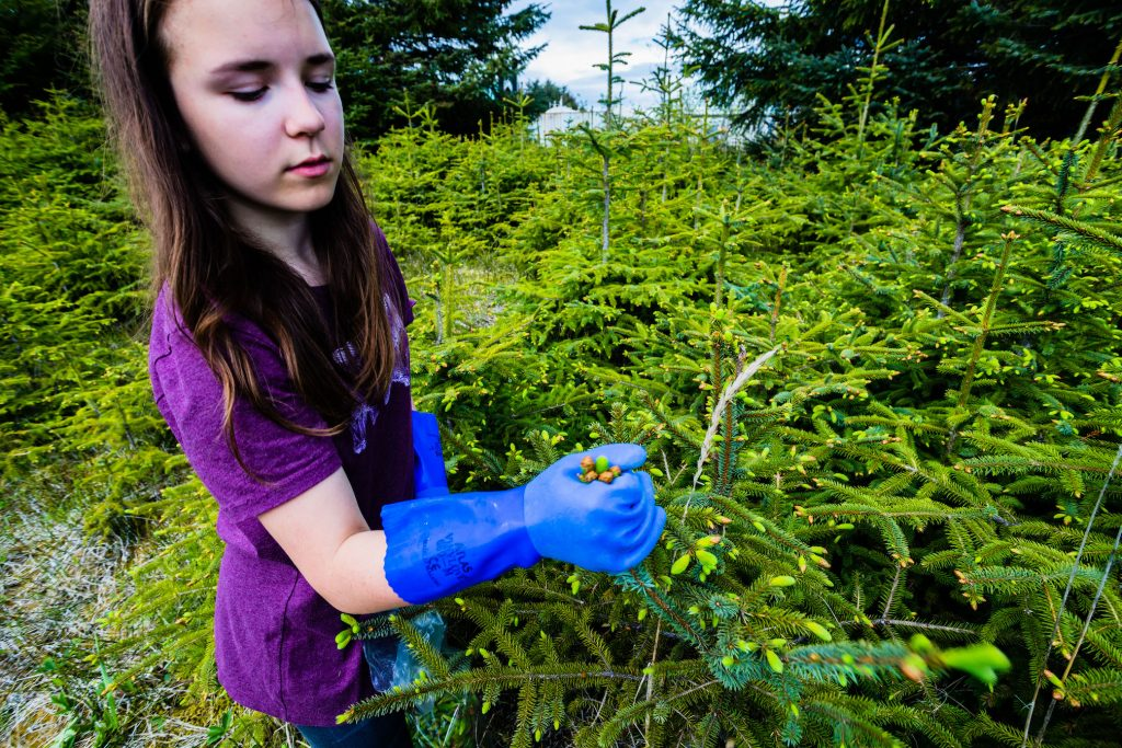 A girl wears gloves and grabs a handful of spruce tips