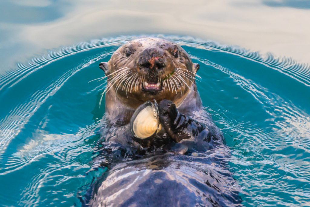 A sea otter swims on its back eating a clam.