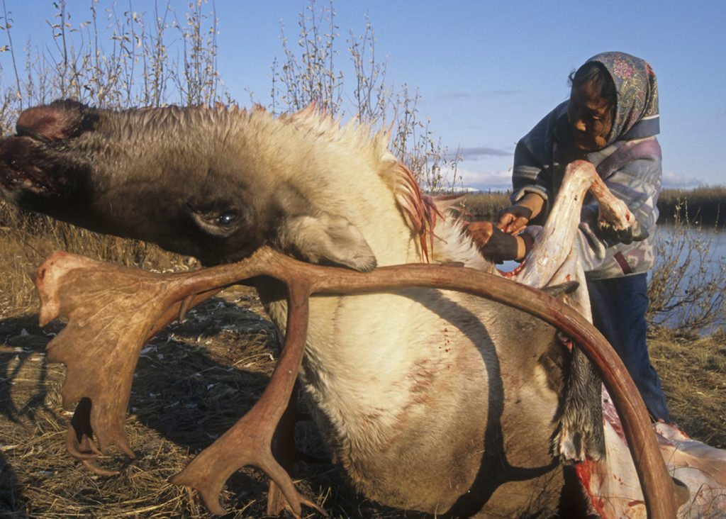 Indigenous woman skinning a dead caribou