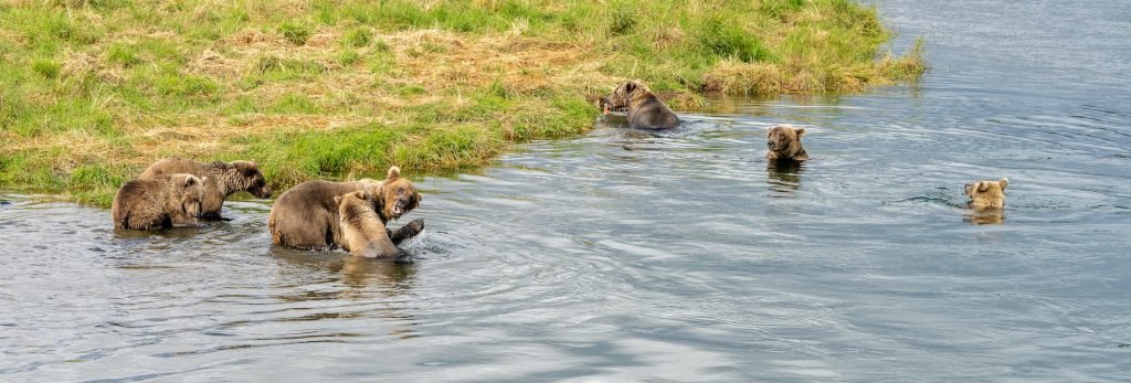 Several bears nearby one another in a river unusual pandemic bear behavior