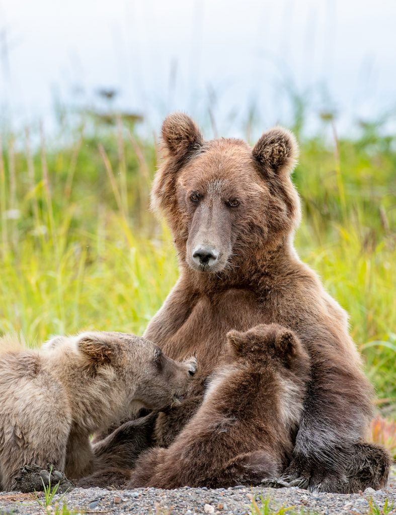 One larger cub and one smaller cub nurse from a bear sitting on its haunches