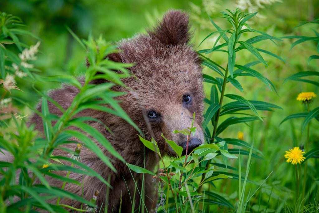 A bear cub among green bushes