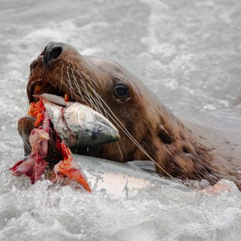 Sealion Snack Time