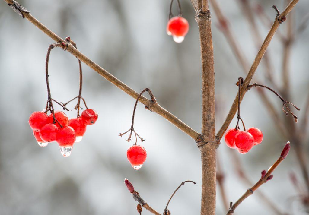 highbush cranberry bush in winter
