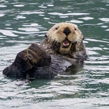 Happy Sea Otter