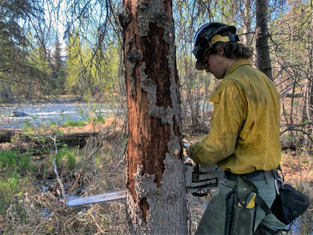 fireman cuts down a tree killed by spruce beetles