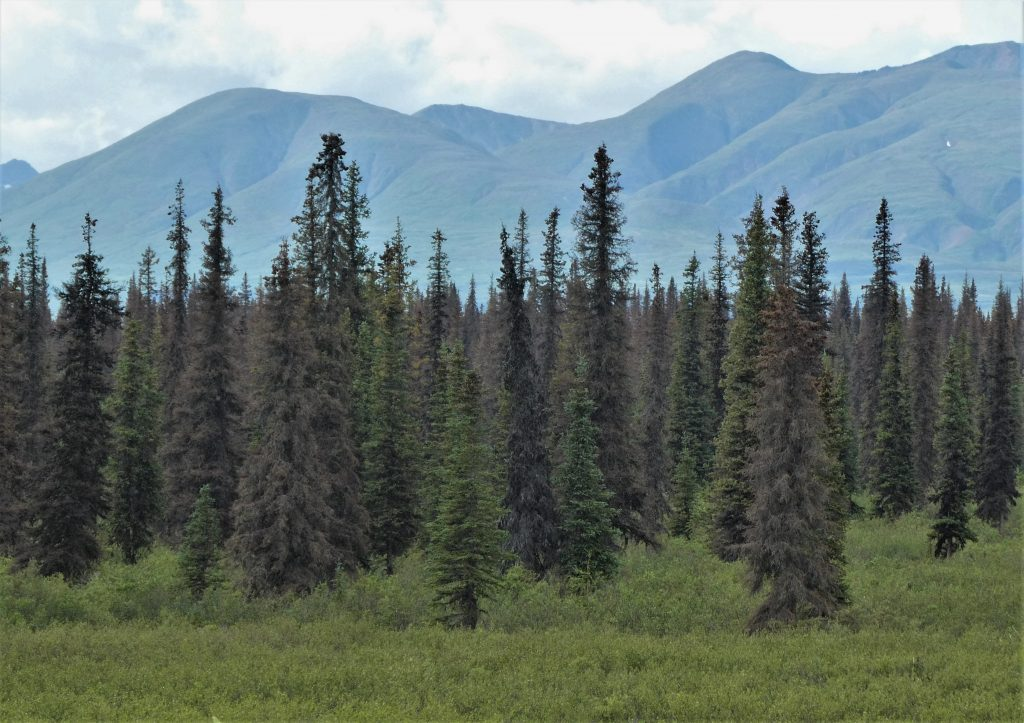 broad pass forest with trees killed by spruce beetles