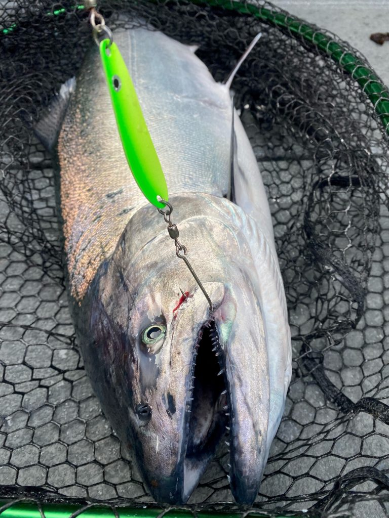 salmon caught with a All Rigged Hydra Lure