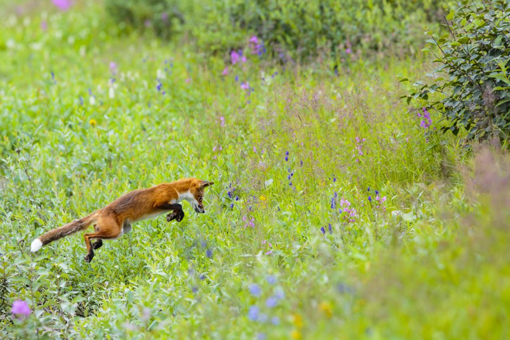 A red fox pounces in a green field spotted with wildflowers