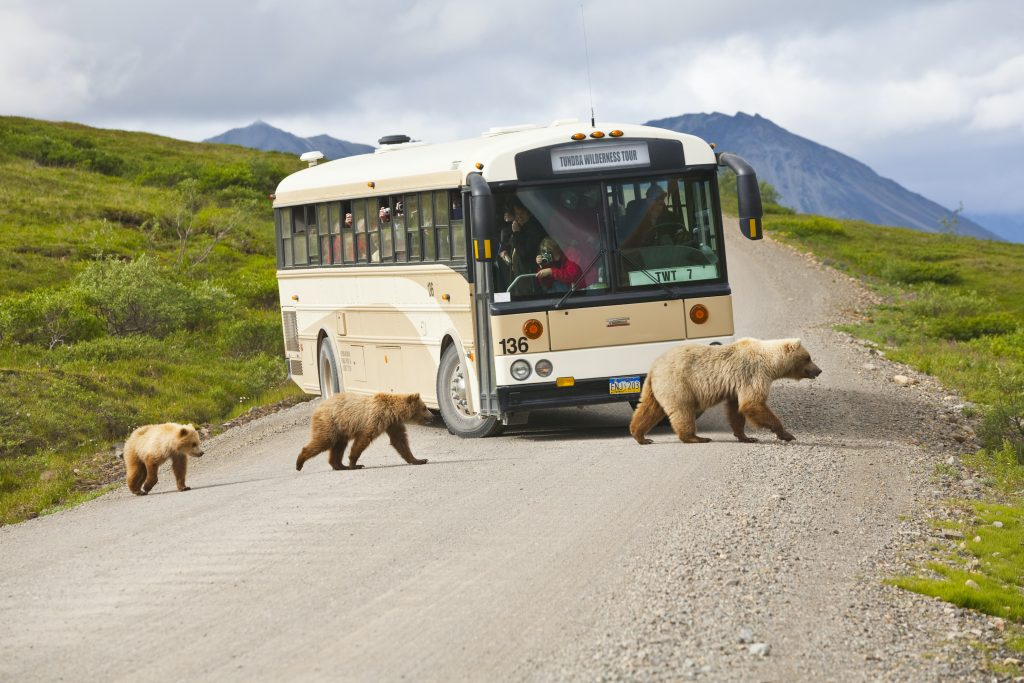 A sow and two cubs cross gravel road in front of Denali bus